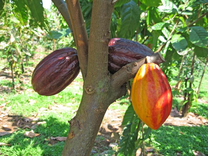 Cacao super gezond en verslavend lekker   Puur&Fit Academie: https://www.puurenfit.nl/academie/superfoods/rauwe-cacao-super-gezond